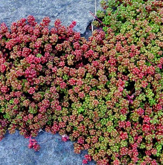 sedum plant between rocks green and red leaves