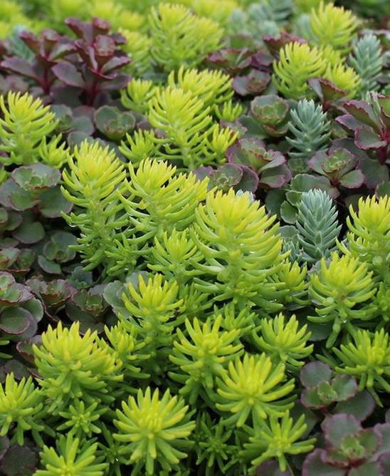 sedum plants different species carpeting plant