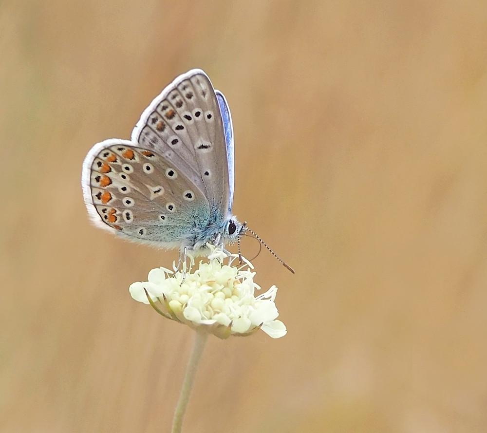 Blue butterfly feeding on Scabiosa ochroleuca flower