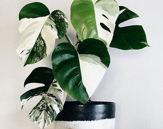 variegated monstera house plant rare special