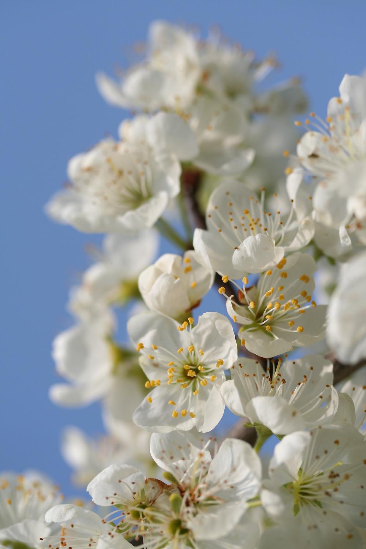white flowers blue sky spring blossom