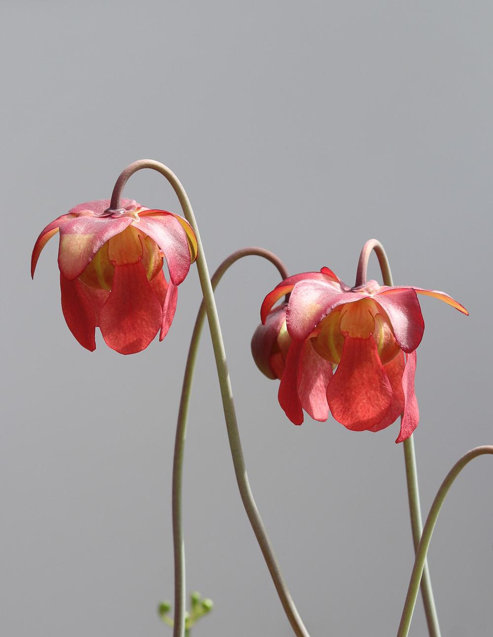 sarracenia red flowers and petals
