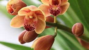 Orchids for Autumn Grace