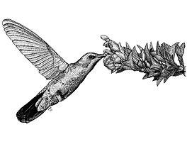 colibri NB.jpg