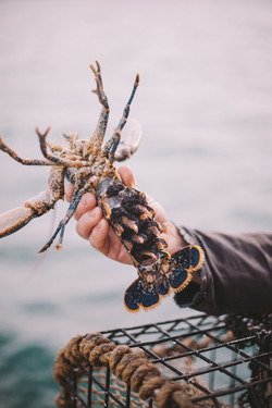 lobster-11