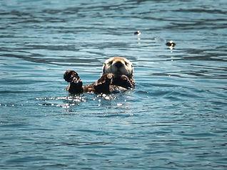 Beaver swimming on it's back