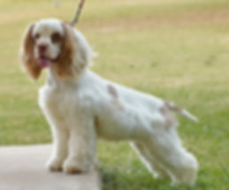 Buff and White Cocker Spaniel Female