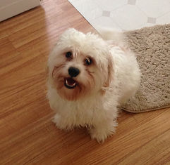 Red and white Cavachon male on floor