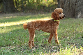red poodle male in green grass