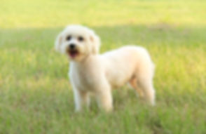 White Bichon Frise Female