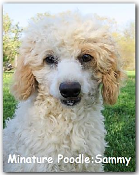 Apricot and White Miniture Poodle Male Stud