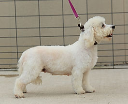 side view of white Bichon in front of wire grid fence