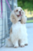 a buff and white coker spaniel/ Mom of Cockapoo Puppies