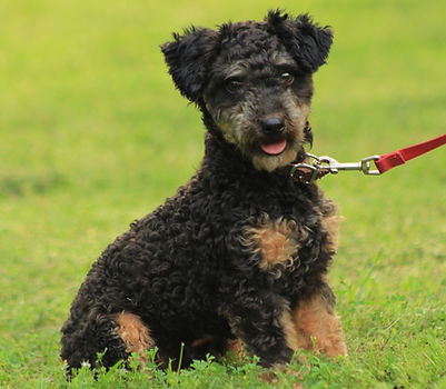 Black and Tan Miniture Poodle Male/Stud