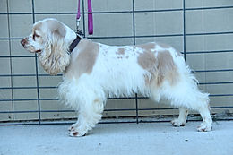 a buff and white cocker spaniel/ Mom of Cockapoo Puppies
