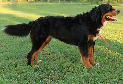 Black and tan Bernese Mountain Dog