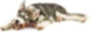 Husky Puppy with a bone