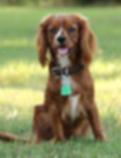 Ruby/Red Cavalier King Charles male/Stud