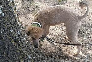 Brown/Sable Miniture Poodle Male/Stud