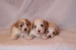 Cavachon red and white puppies