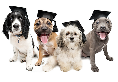 Puppies with graduation caps on
