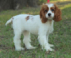 Red and White Cocker Spaniel Female
