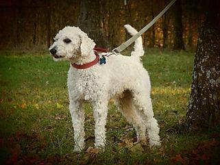 White Poodle Male/Stud