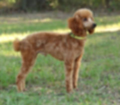 Red Miniture Poodle Male/Stud