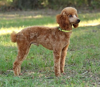 Red Miniture Poodle Male/Stud