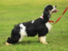 Black and White TriColor Cocker Spaniel Female