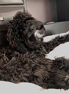 black cockapoo with white chin