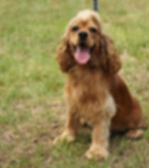 Red/Buff Cocker Spaniel Female