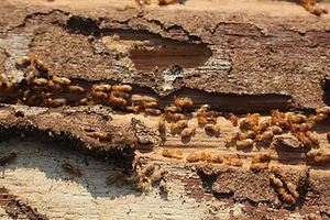 Termites are eating the wood of the hous