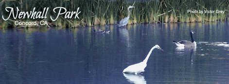 Heron-Goose-Egret-NewhallPond.jpg