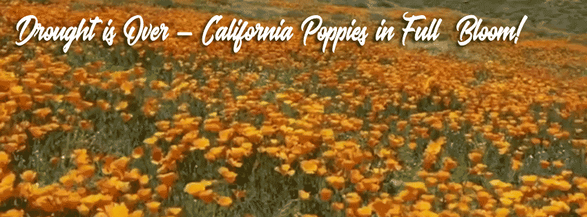 FB-Timeline-CA-Poppies.png