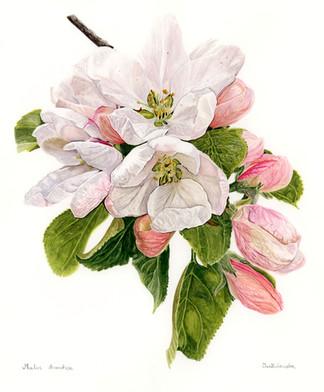 Apple blossom - Spring Potential