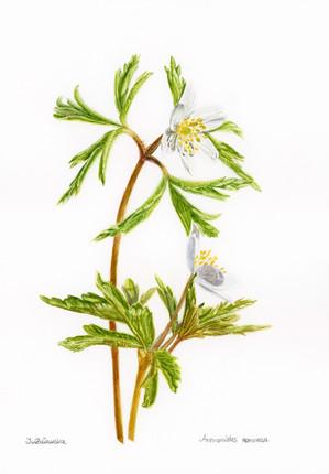 Anemone Nemorosa - Spring Love