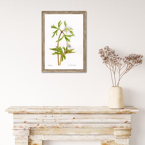 Anemone Nemorosa –Spring Love by Iwona W. Zulawska