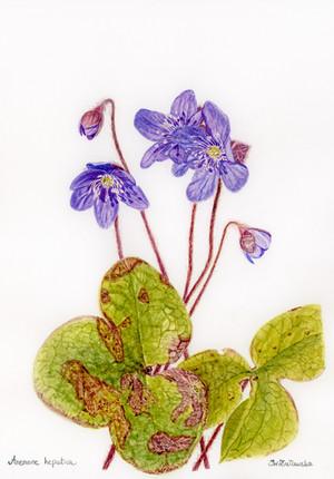 Anemone Hepatica - Spring Love