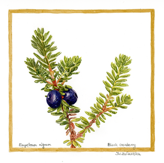 Black crowberry - Bears Delight