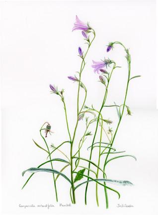 Campanula Rotundifolia - Fairie's Bells