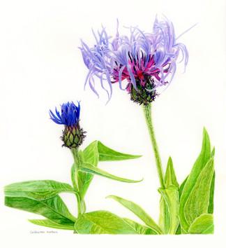 Cornflower - Blue Petals Labyrinth