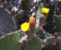 Cactus from Yemen