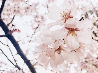 Kirsikkapuu2_edited.jpg