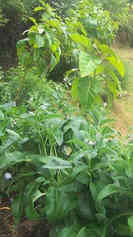 We use comfrey EVERYWHERE we have plants