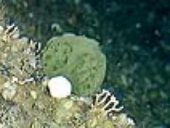 Una esponja marina podría servir para curar el cáncer de páncreas