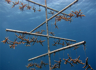 Restore Viable Coral Populations