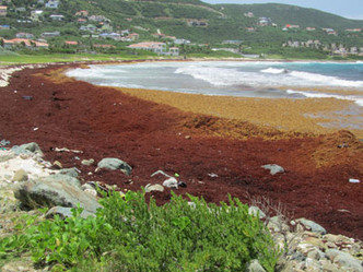 Nature Foundation Warns About Potential for Increased Sargassum Invasion