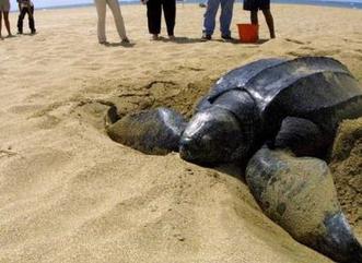 Regresan los tinglares a anidar en nuestras playas