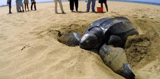 Uno de los problemas que tienen las tortugas es que no consiguen alimento y son perjudicadas por la contaminación de plástico. (Archivo)